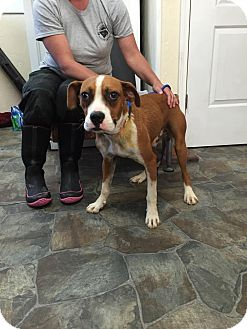 Boxer/Hound (Unknown Type) Mix Dog for adoption in Smithtown, New York - Sarge