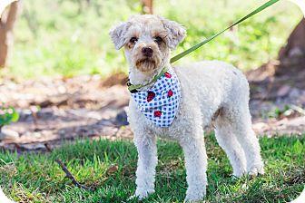Miniature Poodle Mix Dog for adoption in Edmonton, Alberta - Crackers