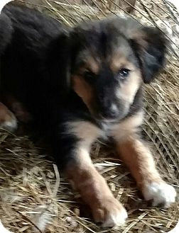 Yorkie, Yorkshire Terrier/Terrier (Unknown Type, Small) Mix Puppy for adoption in Hillsboro, Ohio - Pups