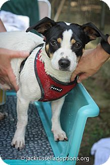 Jack Russell Terrier Mix Dog for adoption in Conyers, Georgia - Fritz
