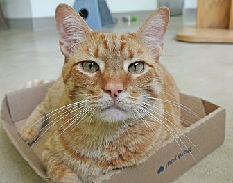 Domestic Shorthair Cat for adoption in Chicago, Illinois - Prince