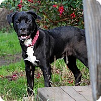 Labrador Retriever/Border Collie Mix Dog for adoption in McKinleyville, California - Pilot