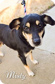 Miniature Pinscher/Chihuahua Mix Dog for adoption in DFW, Texas - Misty