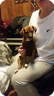 Chihuahua/Jack Russell Terrier Mix Puppy for adoption in Coeburn, Virginia - MOCHA