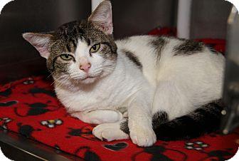 Domestic Shorthair Cat for adoption in Marietta, Ohio - Tayte (Neutered)