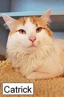 Domestic Mediumhair Cat for adoption in Lakewood, Colorado - Catrick