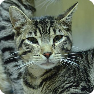 Domestic Shorthair Cat for adoption in Brooksville, Florida - 10310674