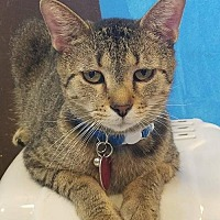 Domestic Shorthair Cat for adoption in Mt Vernon, Indiana - Flash