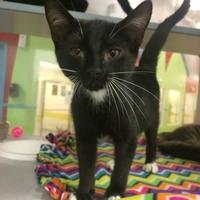 Domestic Shorthair/Domestic Shorthair Mix Cat for adoption in Gulfport, Mississippi - socks