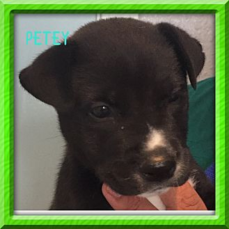 Boston Terrier/Bulldog Mix Puppy for adoption in Moosup, Connecticut - PETEY