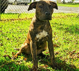 Plott Hound Mix Dog for adoption in Wilmington, North Carolina - A362377