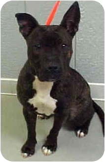 American Pit Bull Terrier Mix Dog for adoption in chicago, Illinois - Morgan
