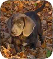 Weimaraner/Basset Hound Mix Puppy for adoption in Lombard, Illinois - Max