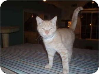 Domestic Shorthair Kitten for adoption in Hamburg, New York - Professor Boo Boo