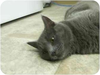 Domestic Shorthair Cat for adoption in Blairmore, Alberta - Jack