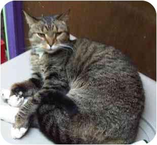 Domestic Shorthair Cat for adoption in Medford, Massachusetts - Bootsie