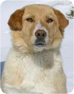 Labrador Retriever Mix Puppy for adoption in Ladysmith, Wisconsin - D0709