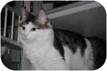Domestic Mediumhair Cat for adoption in Marietta, Georgia - Anthony