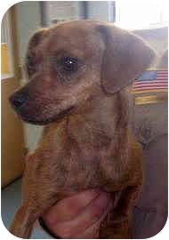 Dachshund/Chihuahua Mix Dog for adoption in Sacramento, California - Karma loving