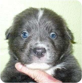 Australian Shepherd Mix Puppy for adoption in Eastpoint, Florida - Mozart