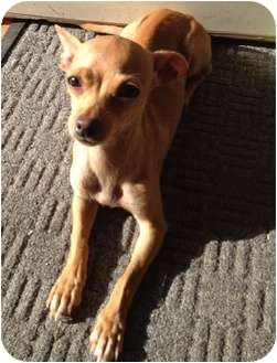 Chihuahua Dog for adoption in Snohomish, Washington - Little Mia