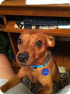 Miniature Pinscher Dog for adoption in Nashville, Tennessee - Bubba