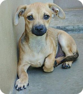 Terrier (Unknown Type, Small)/Dachshund Mix Puppy for adoption in Red Bluff, California - Patriot