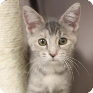 Domestic Shorthair Kitten for adoption in Naperville, Illinois - Snow