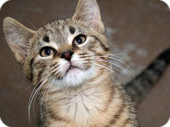 Domestic Shorthair Kitten for adoption in Royal Oak, Michigan - FLINT