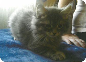 Domestic Longhair Kitten for adoption in Clarksville, Tennessee - Fuzzy