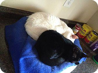 Bombay Cat for adoption in Brunswick, Ohio - Abilene