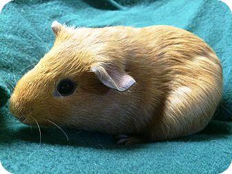Guinea Pig for adoption in Edinburg, Pennsylvania - Orville