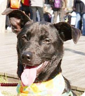 Labrador Retriever Mix Dog for adoption in Castro Valley, California - Andre