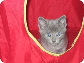 Russian Blue Kitten for adoption in Lenexa, Kansas - Mason