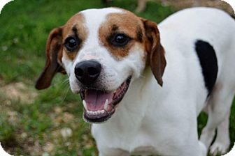 Beagle/Terrier (Unknown Type, Medium) Mix Dog for adoption in Hagerstown, Maryland - Burmeister