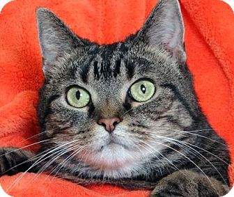 Domestic Shorthair Cat for adoption in Renfrew, Pennsylvania - Brandy