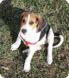 Treeing Walker Coonhound Mix Puppy for adoption in Hayes, Virginia - Justin