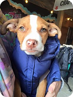 Pit Bull Terrier Mix Puppy for adoption in Pittsburgh, Pennsylvania - Rey