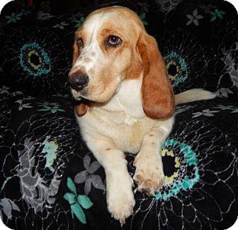 Basset Hound Mix Dog for adoption in Old Fort, North Carolina - Daisy