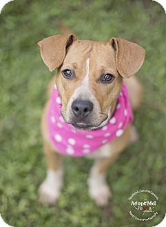 Black Mouth Cur/Patterdale Terrier (Fell Terrier) Mix Puppy for adoption in Portland, Oregon - Quinn
