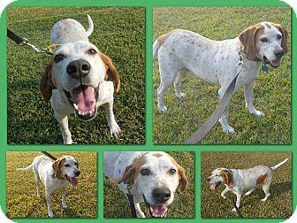 English (Redtick) Coonhound Dog for adoption in Sumter, South Carolina - HANK