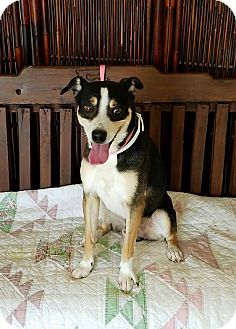 Rat Terrier Mix Dog for adoption in Atchison, Kansas - Kirby