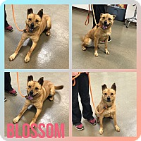 Adopt A Pet :: Blossom - Steger, IL