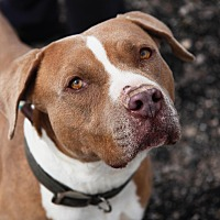 Adopt A Pet :: Duke - Las Vegas, NV