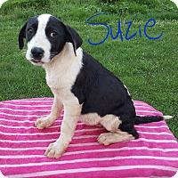Adopt A Pet :: Suzie - Burlington, VT