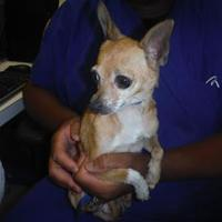 Chihuahua Mix Dog for adoption in justin, Texas - Chloe