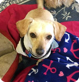 Terrier (Unknown Type, Small)/Beagle Mix Dog for adoption in Phoenix, Arizona - Ralph