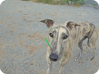 Greyhound Dog for adoption in Roanoke, Virginia - Tank