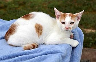 Domestic Shorthair Kitten for adoption in Sussex, New Jersey - DON JUAN