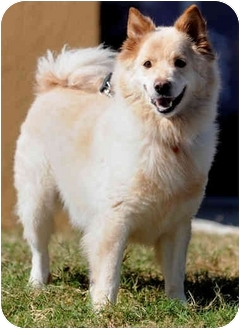 Spitz (Unknown Type, Medium) Mix Dog for adoption in Coral Springs, Florida - Ziggy